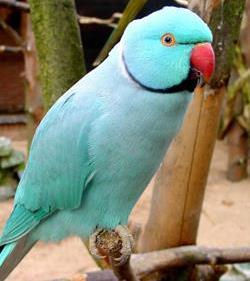 Ringneck Parakeets