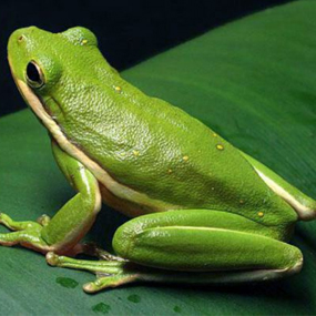 american_green_tree_frog