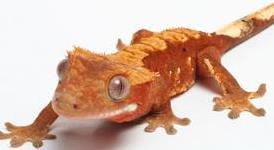 crested_gecko