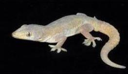 house_gecko