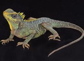 mountain_horned_lizard