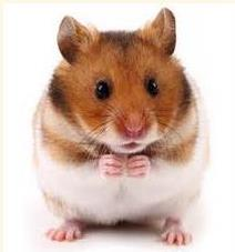 Syrian_hamsters